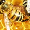 Uygulanan Basit Yöntem Arı Ölümlerine Çözüm Olabilir
