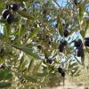 İzmir Tarım Müdürlüğü Zeytinlikleri Göremedi  !…