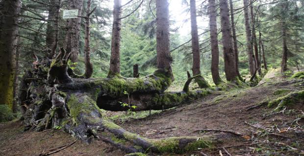 Ladin ağacının gövdesinden tam 18 ağaç yetişti