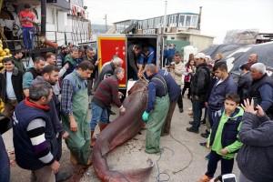 Dev köpek balığı ağlara takıldı