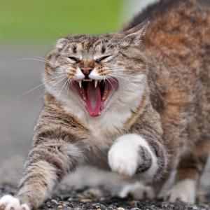Fracious Cat