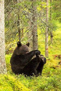 Aç kalan ayıları Uludağ'da koruyalım