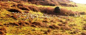 Kuzey Marmara Otoyolu İçin Hayvancılık Yok Ediliyor