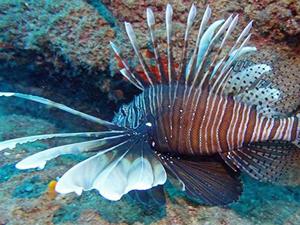 Akdeniz' de Zehirli Aslan Balığı Görüldü!