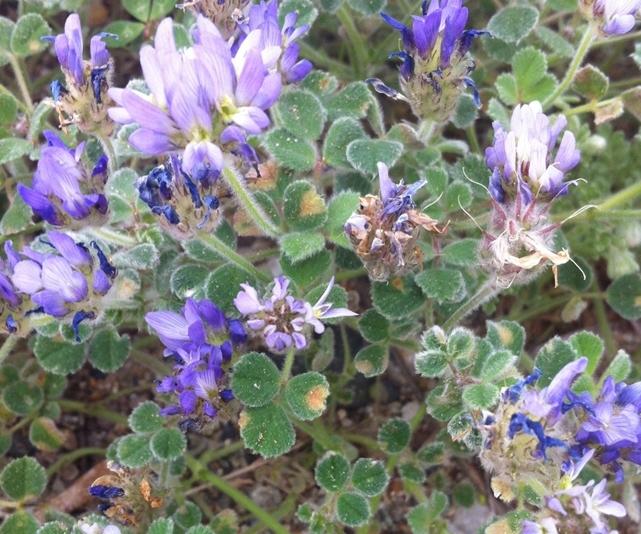 Ayvalık /Sarımsaklı'da Dünya  İçin Endemik  Bitki  Keşfedildi.Bitkiye AYVALİKENSİS Adı Verildi