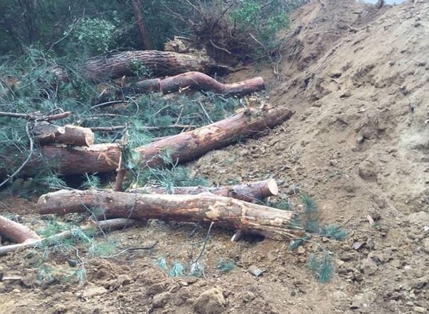 Bursa'da Büyükşehir'den Ağaç  Katliamı !