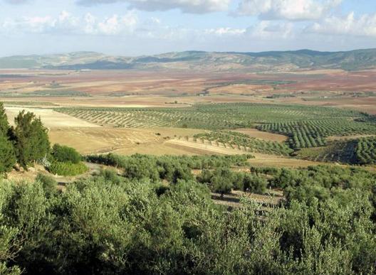 Diktatörlükten  Demokrasiye Tunus'da,  Zeytin Ağaçları  Sayesinde Ayağa  Kalktı