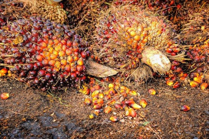 Palm Yağı Üretimi İçin Ormanları Katlediyorlar