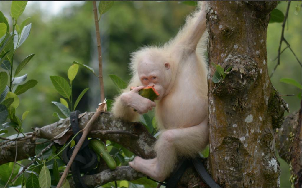 Alba Adlı Koruma Altına Alınan Albino Orangutan 2 Yılın Sonunda Doğaya Salındı
