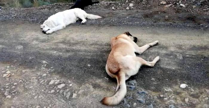 Muğla'da Skandal ! Sokak Köpeklerine Anestezi Yaparak Ormanlık Alana Bıraktılar