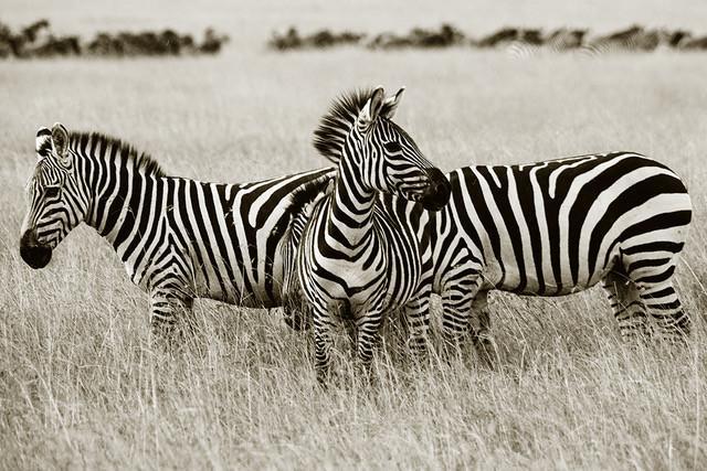 Zebra Çizgilerinin Sırrı