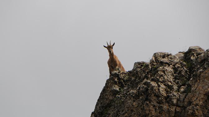 Yaban Keçileri Yola İndi
