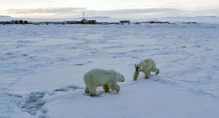 İklim değişikliği Rusya'nın Rikarpi köyüne 50'den fazla kutup ayısı'nı indirdi