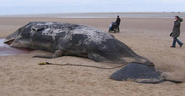 Sahile vuran balinanın midesinden 100 kilo çöp çıktı