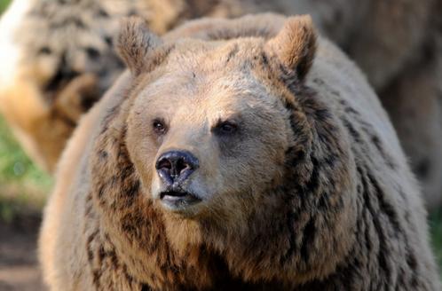Bursa'da kış uykusuna yatmayan ayılar için özel program