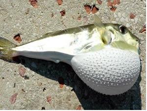 Balon balıklarından sağlık sektörü için ham madde üretildi