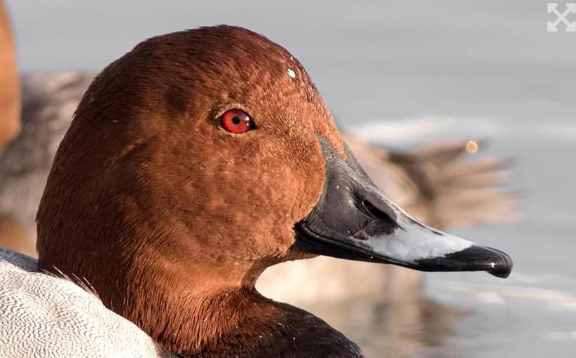 Merkez Av Komisyonunun tehlike altındaki kuşlara dair av kararına tepki